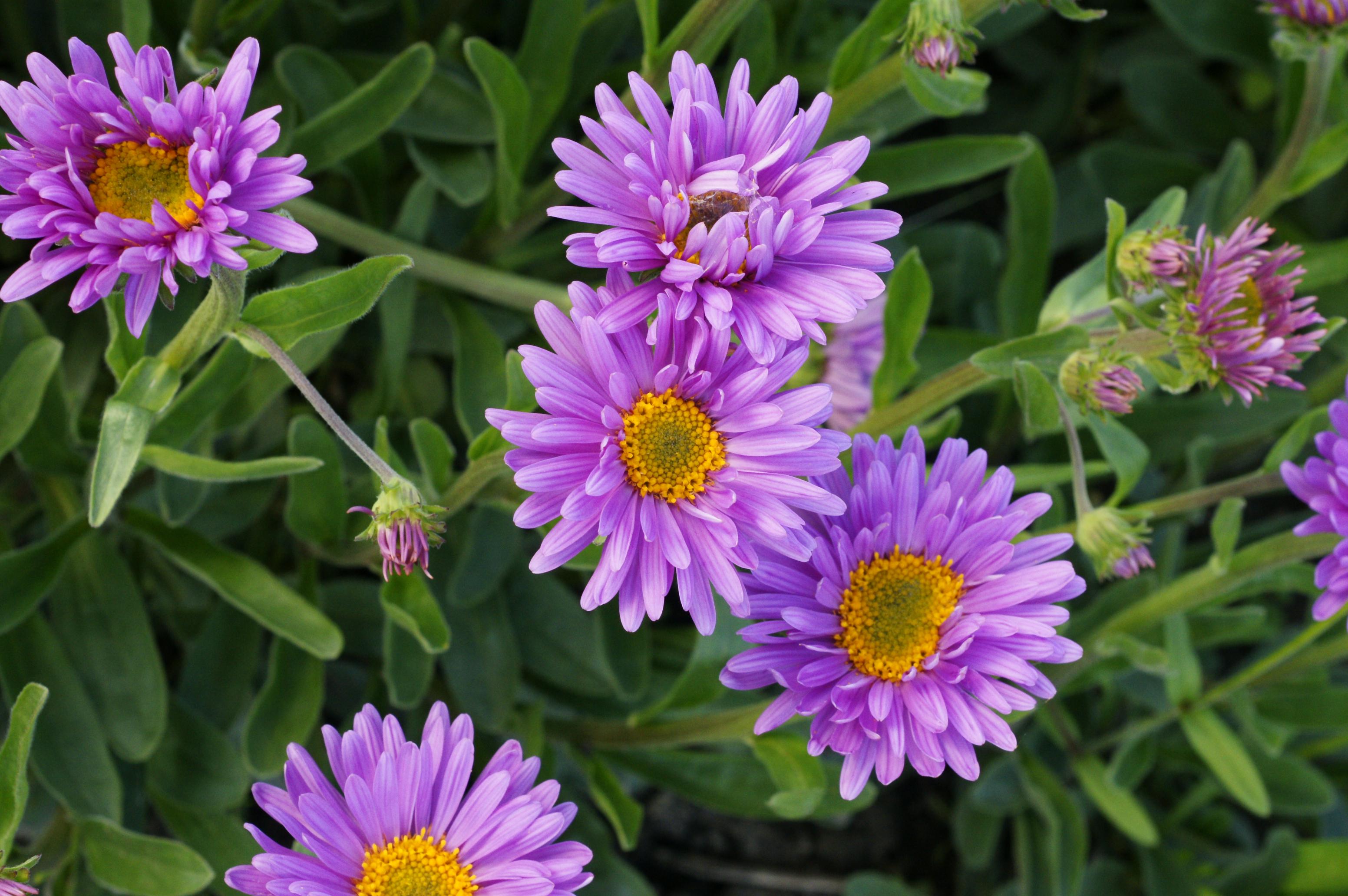 Фото цветка астра альпийская