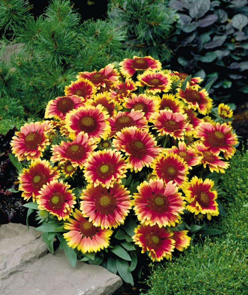 Сорта многолетних цветов и названиями