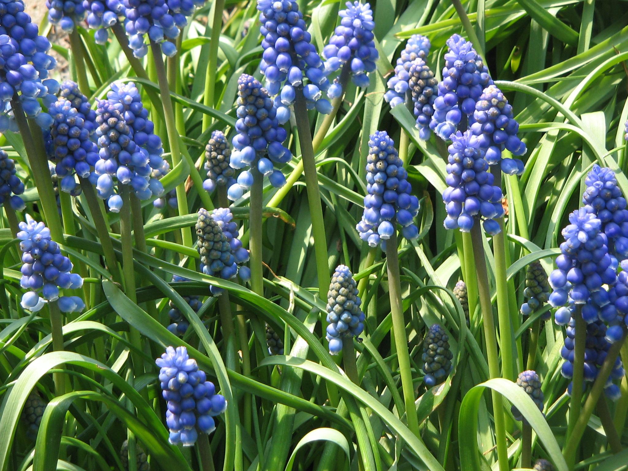 по форме напоминающими початок длинной 4-8 см с плотнособранными многочисленными цветками